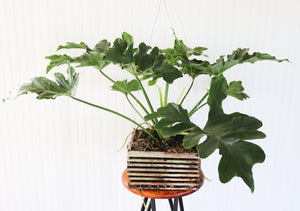 "12"" Philodendron Revolutions"
