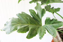 "Load image into Gallery viewer, 12"" Philodendron Revolutions"