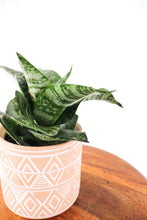 "Load image into Gallery viewer, 4.5"" Petite Mishima: Sansevieria"