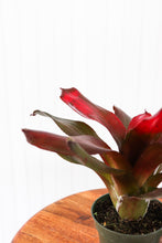 "Load image into Gallery viewer, 4"" Bromeliad: Neoregelia Mana Pink"