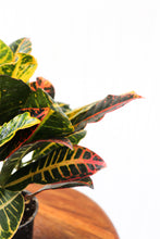"Load image into Gallery viewer, 4"" Croton"
