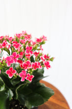 "Load image into Gallery viewer, 6"" Kalanchoe Succulent - assorted colours"