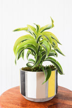 Load image into Gallery viewer, Urban Neutrality LiveTrends: Dracaena