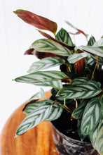 "Load image into Gallery viewer, 6"" Ctenanthe Setosa Silver Star Calathea"