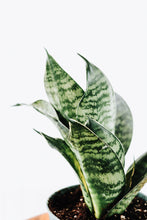 "Load image into Gallery viewer, 4"" Sansevieria Hahnii Birdnest"