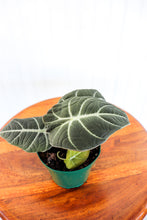 "Load image into Gallery viewer, 4"" Alocasia Black Velvet"
