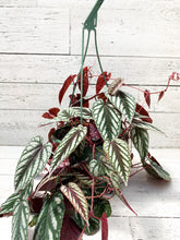 "Load image into Gallery viewer, 8"" Cissus Discolour Vine (Rex Begonia Vine)"