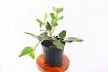 "Load image into Gallery viewer, 10"" Ficus Audrey Bush"