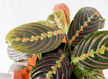 "Load image into Gallery viewer, 6"" Red Maranta"