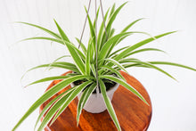"Load image into Gallery viewer, 6"" Spider Plant Hanging"