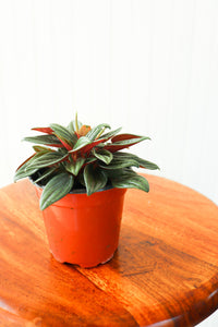 "4"" Peperomia Rosso"