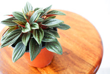 "Load image into Gallery viewer, 4"" Peperomia Rosso"