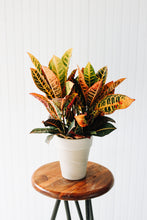 "Load image into Gallery viewer, 6"" Croton"