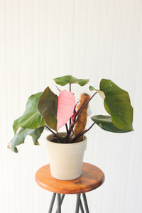 "8"" Pink Princess Philodendron"