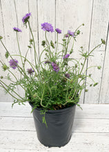 "Load image into Gallery viewer, 8"" Scabiosa: Butterfly Blue (Pincushion Flower)"