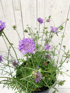 "8"" Scabiosa: Butterfly Blue (Pincushion Flower)"