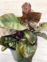 "Load image into Gallery viewer, 10"" Black Cardinal Philodendron"
