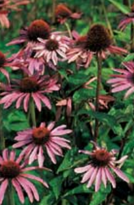 Perennial Flower Seeds