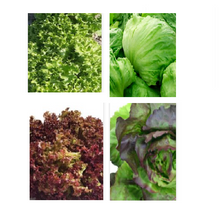 Load image into Gallery viewer, OSC Organic Vegetable Seeds: Lettuce Seeds