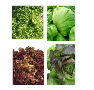 OSC Organic Vegetable Seeds: Lettuce Seeds