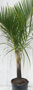 "14"" Spindle Palm Tree"