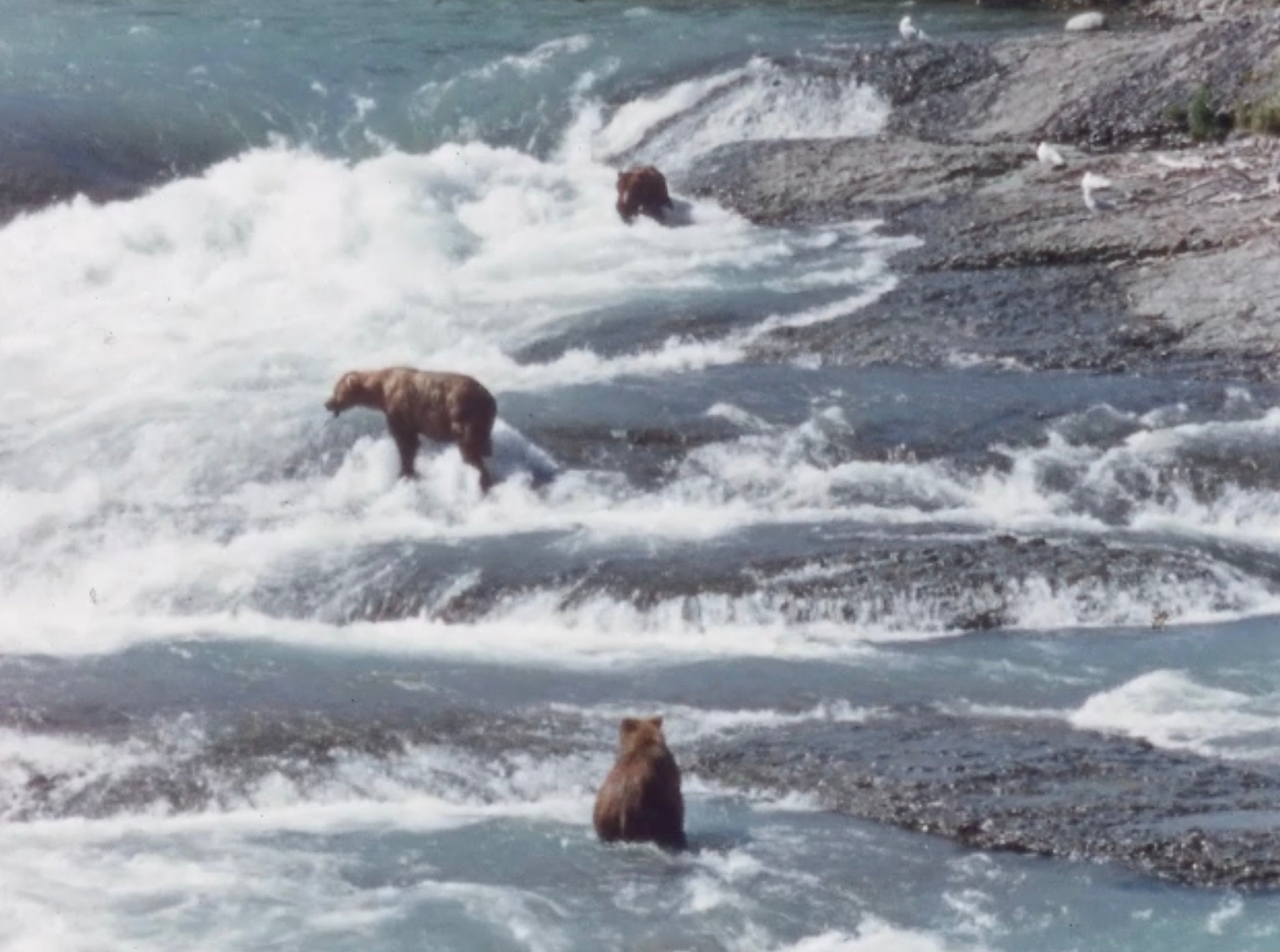 3 bears fishing in a river