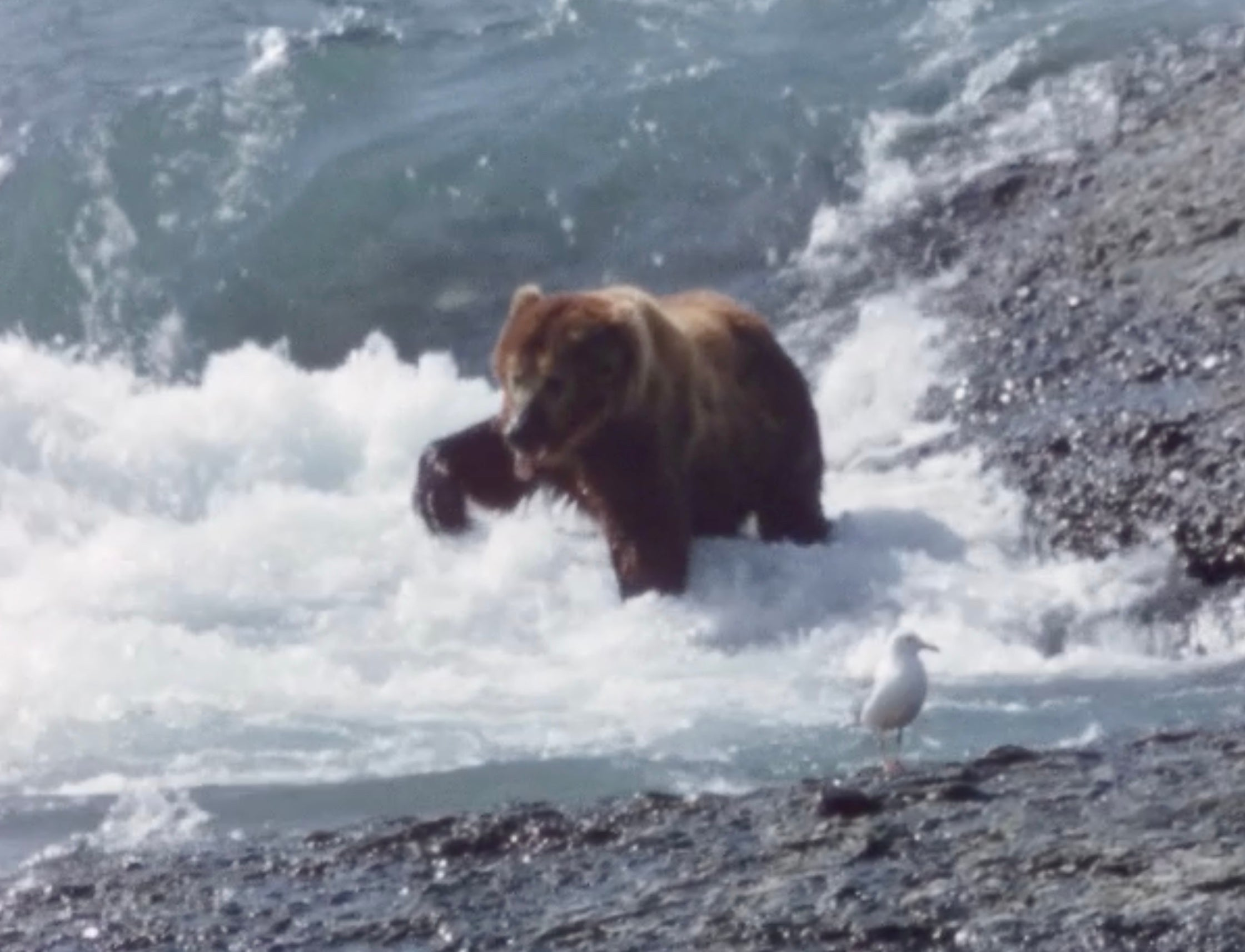 A bear fishing in a river