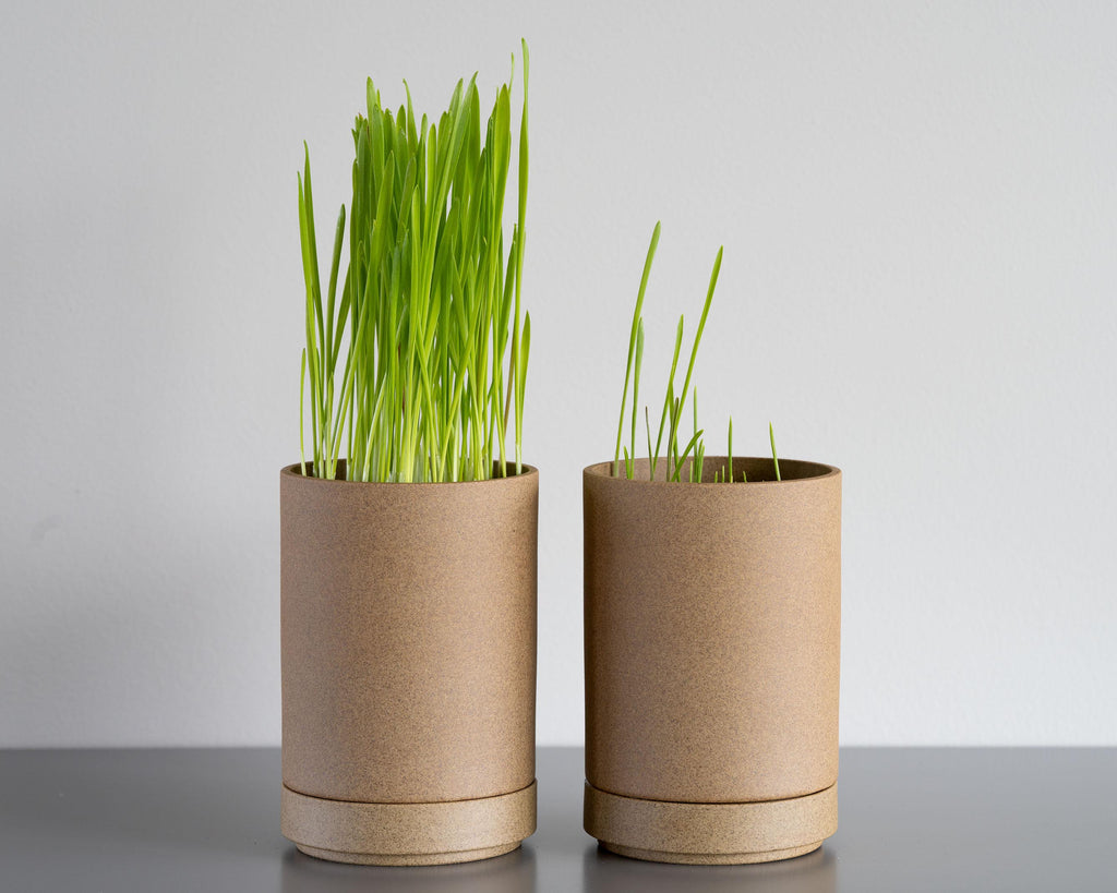 Grass grown with Dirty Labs detergent grows considerably taller than grass grown with a popular conventional detergent.