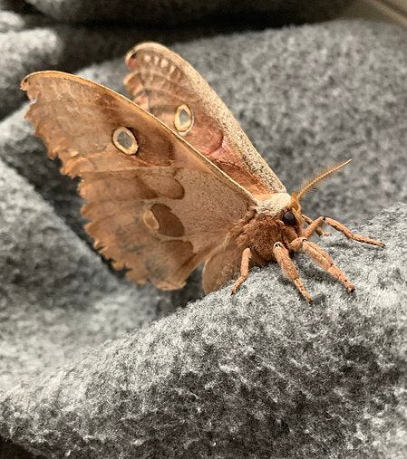 A moth on clothing