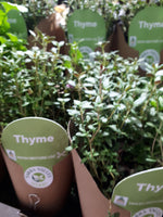 Living herbs thyme