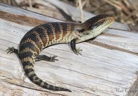 BLUE TONGUE LIZARD - EASTERN