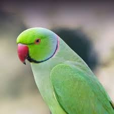 INDIAN RING NECK GREEN