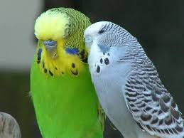 BUDGIE - GREEN OR GREY
