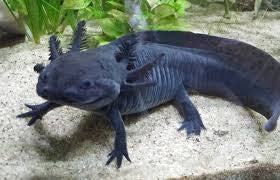 AXOLOTL - (MEXICAN WALKING FISH)