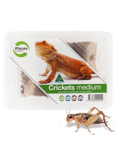 CRICKETS MEDIUM PISCES