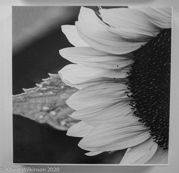 Enhanced Paper Gallery Wrap, Sunflower