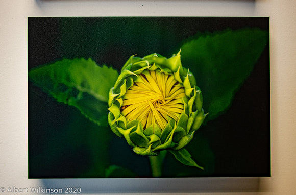 Enhanced Paper Gallery Wrap, Sunflower Bud