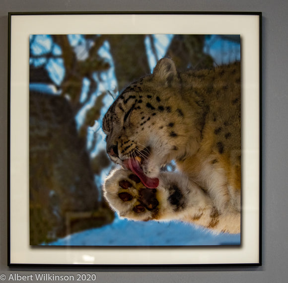 Framed Print, Snow Leopard