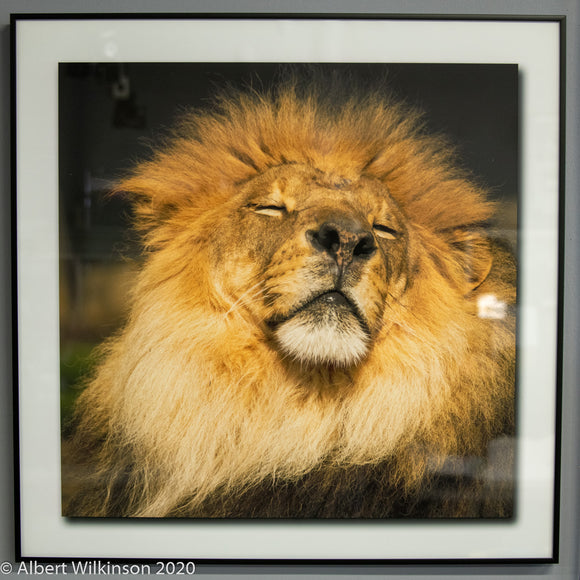 Framed Print, Lion