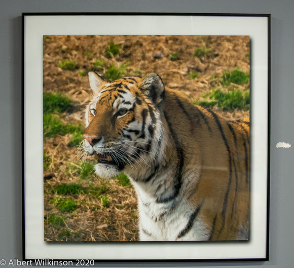Framed Print, Tiger