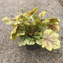 Load image into Gallery viewer, Heuchera (coral bells)