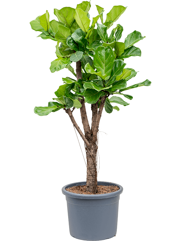 Extra Large Ficus lyrata (Fiddle Leaf Fig)