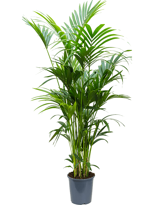 Extra Large Kentia forsteriana (Thatch Palm)