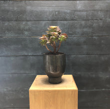 Load image into Gallery viewer, Aeonium arboreum with artist pot