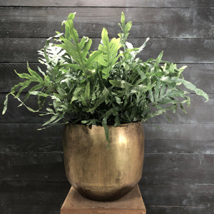 Aged brass planter with Phlebodium plant