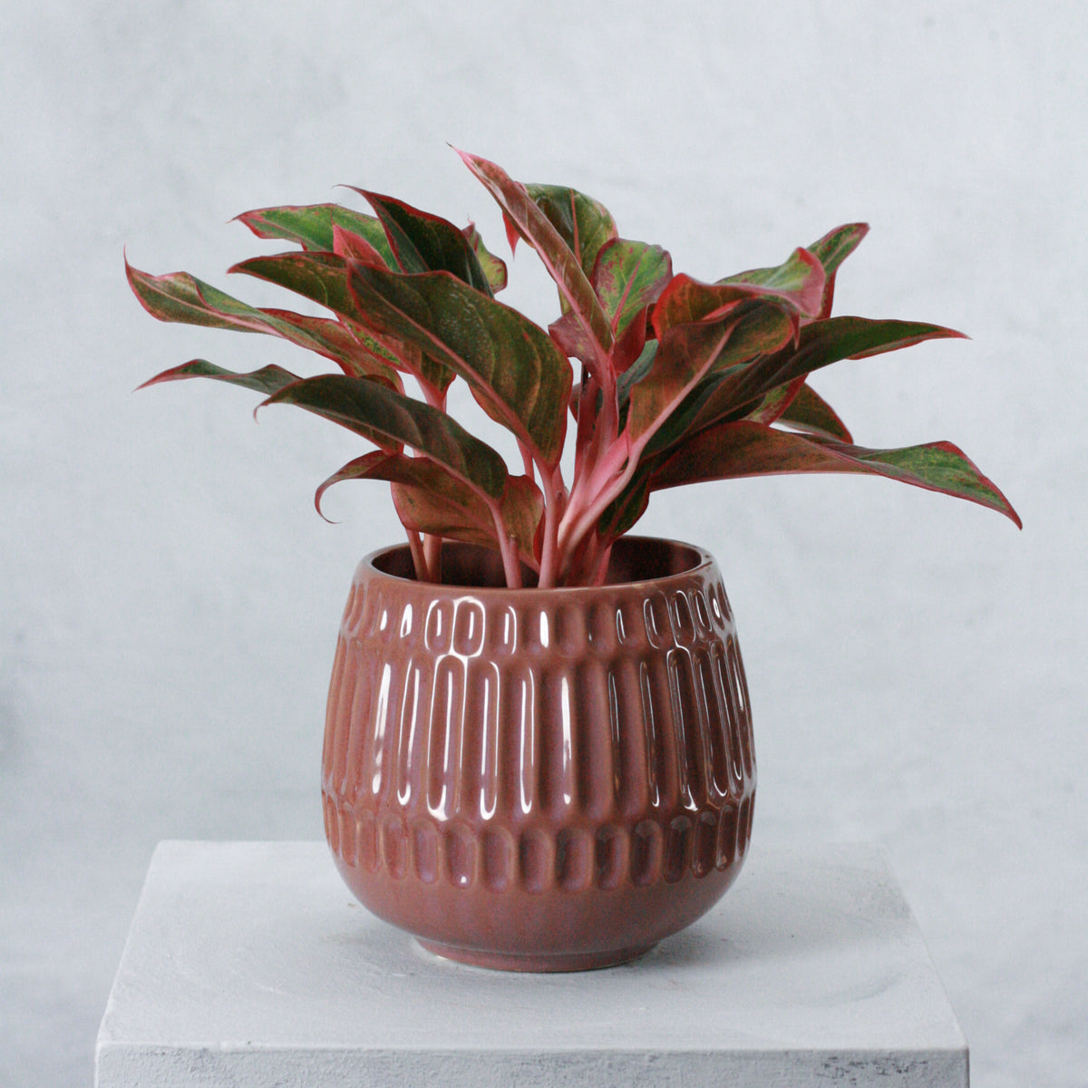 Aglaonema crete (Chinese Evergreen)