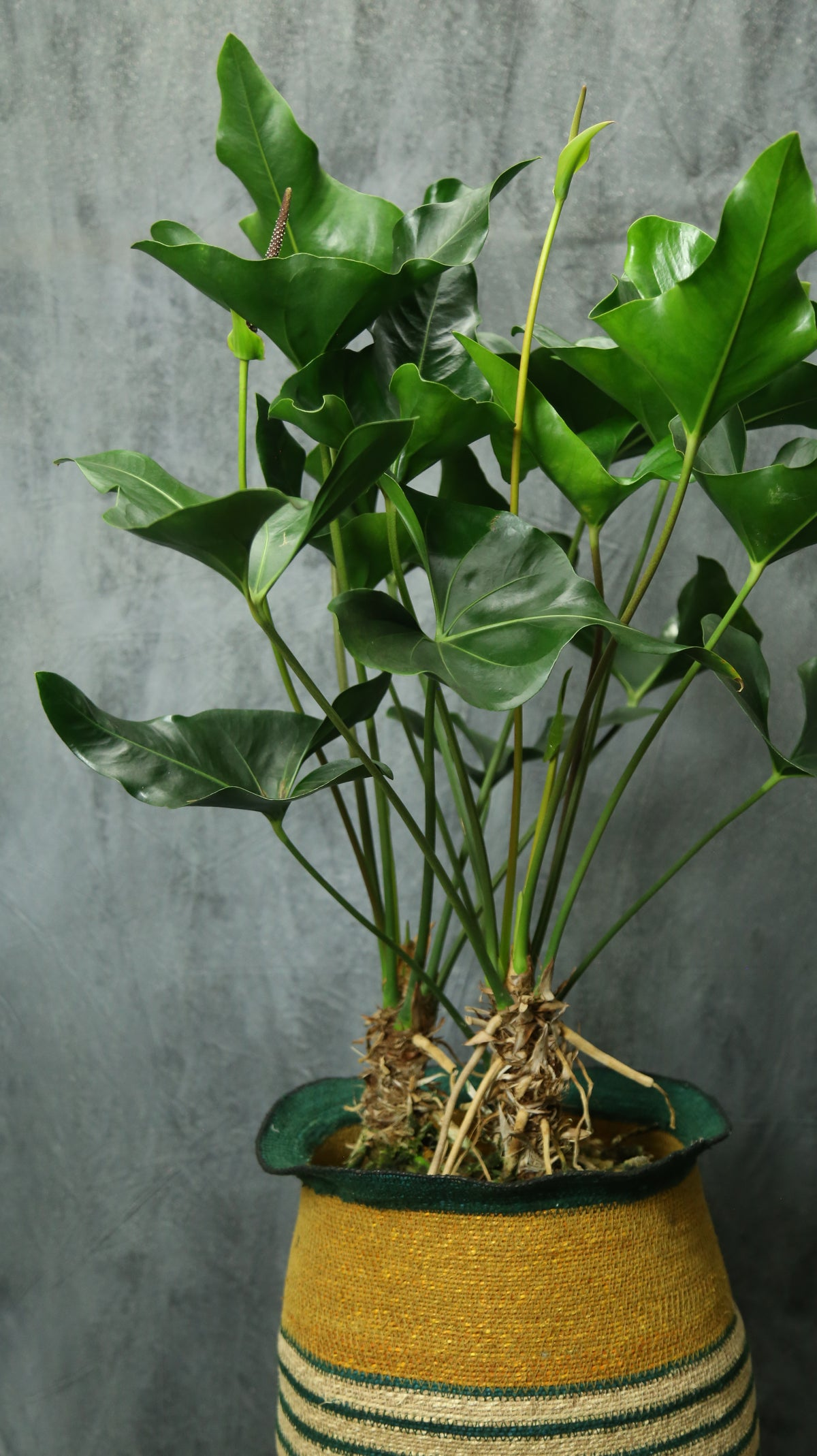 Anthurium 'arrow'