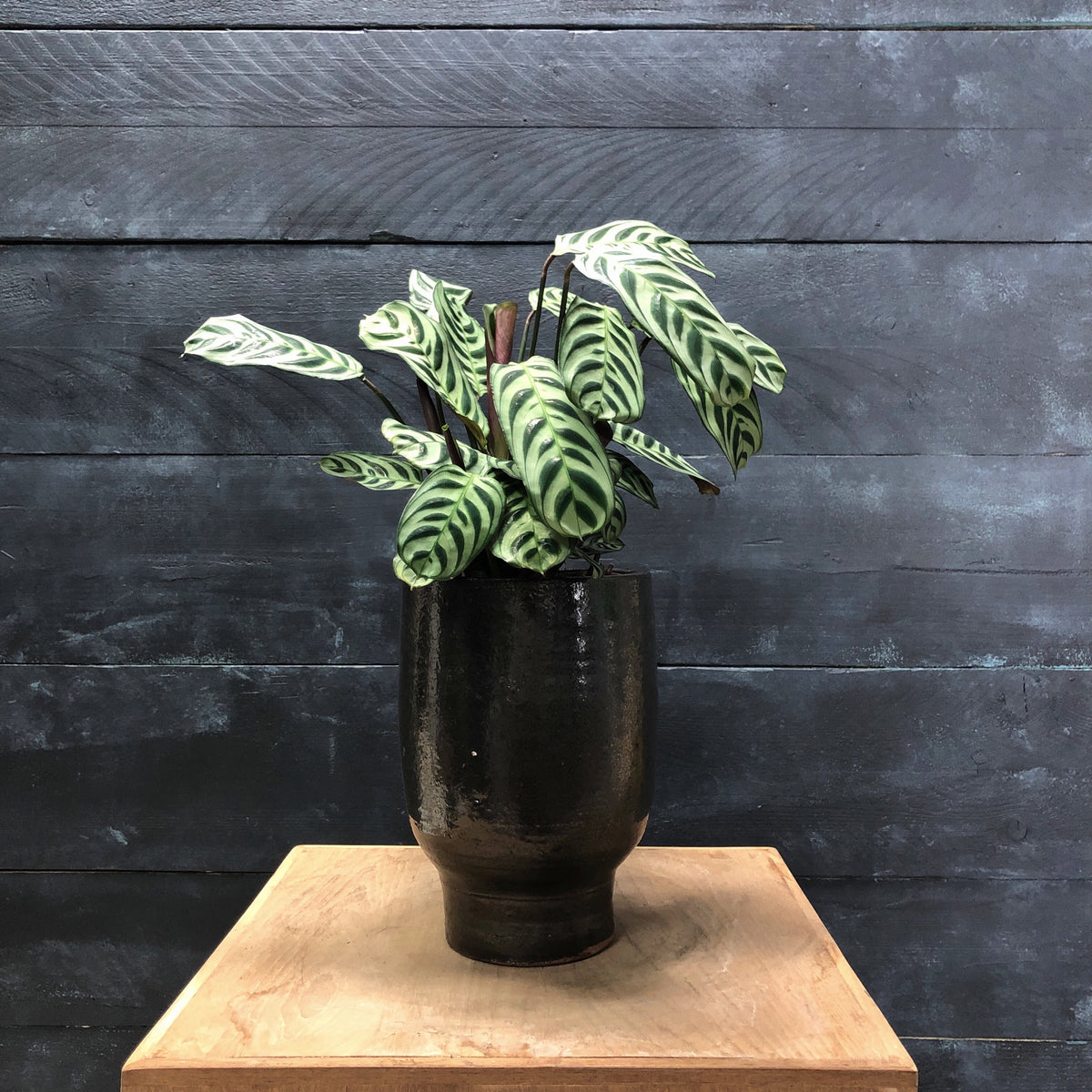 Small black Artist planter with Ctenanthe plant