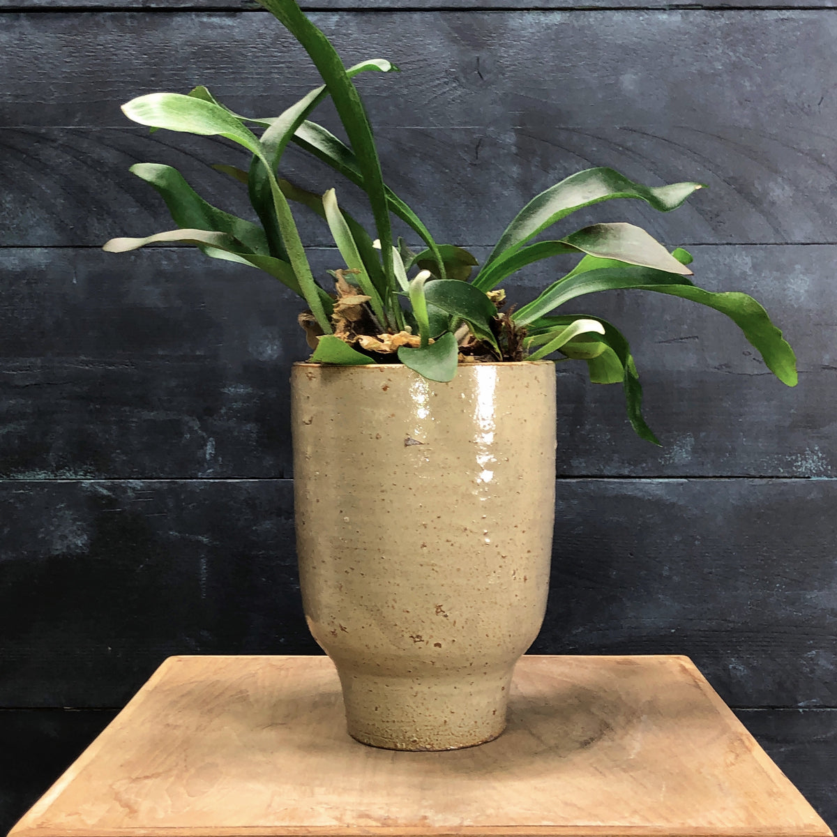 Small Cream Artist planter with Staghorn fern