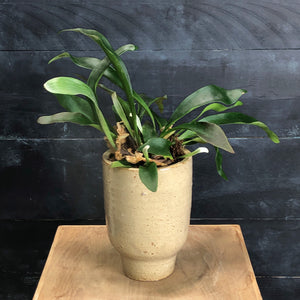 Artist small pot with Staghorn fern